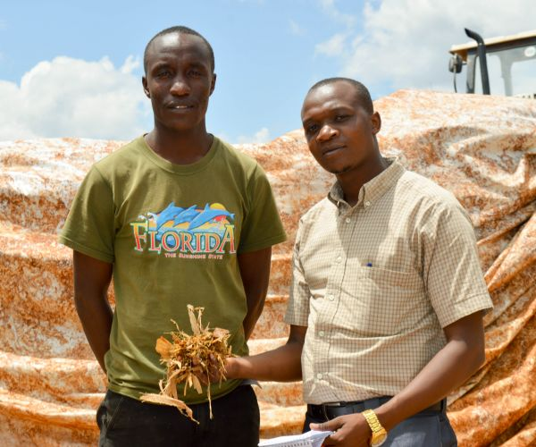 Call to dairy farmers: It makes sense feeding maize to dairy cows